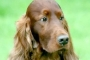 Dog dogs canine Jagger Crufts Irish Setter